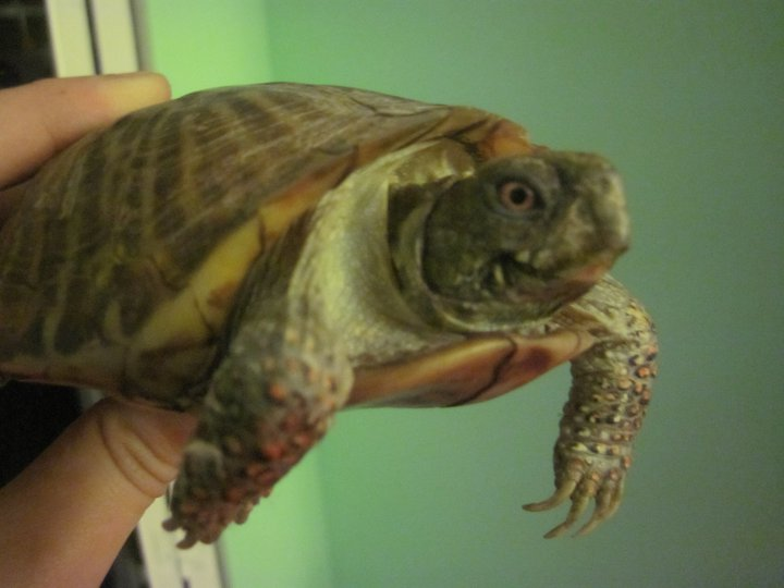 Rocky our adorable male ornate box turtle